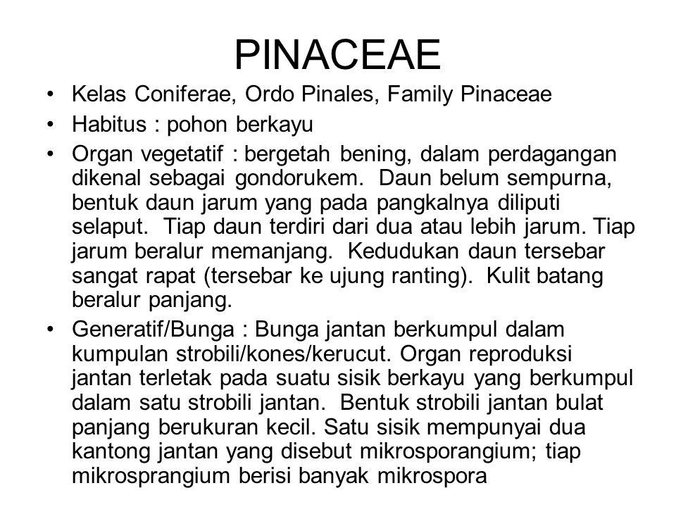 Kelas Coniferae, Ordo Pinales, Family Pinaceae Habitus : pohon berkayu Organ vegetatif : bergetah bening, dalam perdagangan dikenal sebagai gondorukem
