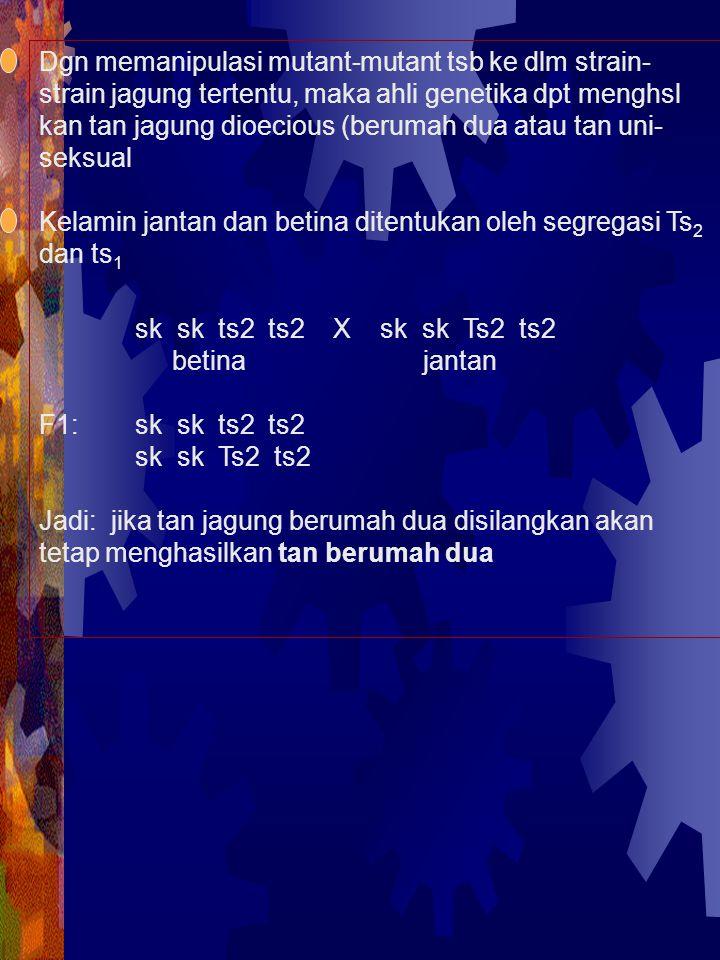 PENENTUAN KELAMIN PADA TAN Melandrium merupakan tan dioecious Thn 1953 komposisi kromosom bervariasi antara tan jantan dan tan betina Satu set kromosom dicirikan oleh X dan Y menen- tukan jantan atau betina Jantan mengandung 4 psg autosom plus Kromosom X dan Y Kromosom Y lebih besar dr kromosom X Tan betina jg mengandung 4 psg autosom naum me- miliki 2 kromosom X Thn 1953, Morgens Westergaard mengaitkan ketdk- normalan komposisi kromosom tan dgn kelamin tan.