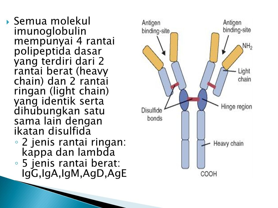  Semua molekul imunoglobulin mempunyai 4 rantai polipeptida dasar yang terdiri dari 2 rantai berat (heavy chain) dan 2 rantai ringan (light chain) ya