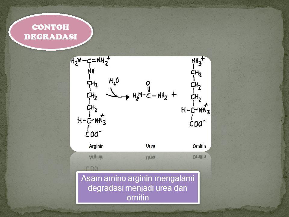 CONTOH DEGRADASI Asam amino arginin mengalami degradasi menjadi urea dan ornitin