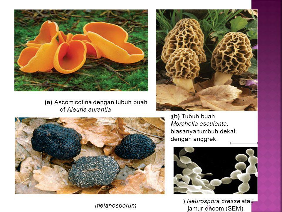 ( (b) Tubuh buah Morchella esculenta, biasanya tumbuh dekat dengan anggrek.