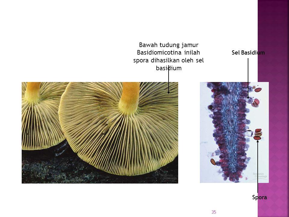 Bawah tudung jamur Basidiomicotina inilah spora dihasilkan oleh sel basidium Sel Basidium Spora 35