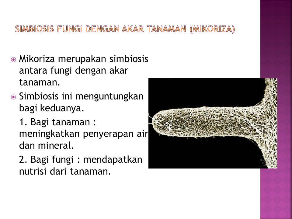  Mikoriza merupakan simbiosis antara fungi dengan akar tanaman.