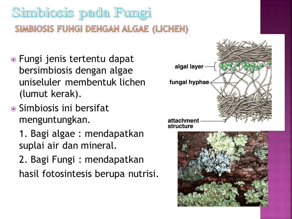  Fungi jenis tertentu dapat bersimbiosis dengan algae uniseluler membentuk lichen (lumut kerak).