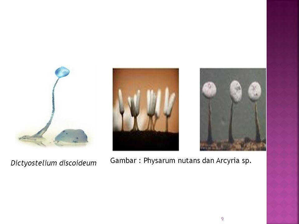 Gambar : Physarum nutans dan Arcyria sp. Dictyostelium discoideum 9