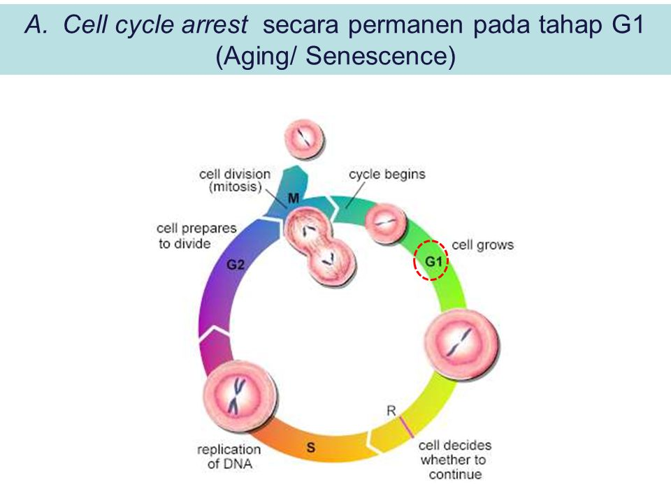 A.Cell cycle arrest secara permanen pada tahap G1 (Aging/ Senescence)