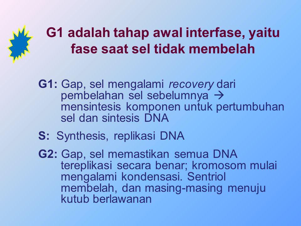 G1: Gap, sel mengalami recovery dari pembelahan sel sebelumnya  mensintesis komponen untuk pertumbuhan sel dan sintesis DNA S: Synthesis, replikasi D