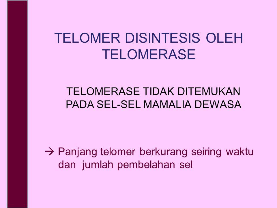  Panjang telomer berkurang seiring waktu dan jumlah pembelahan sel TELOMER DISINTESIS OLEH TELOMERASE TELOMERASE TIDAK DITEMUKAN PADA SEL-SEL MAMALIA