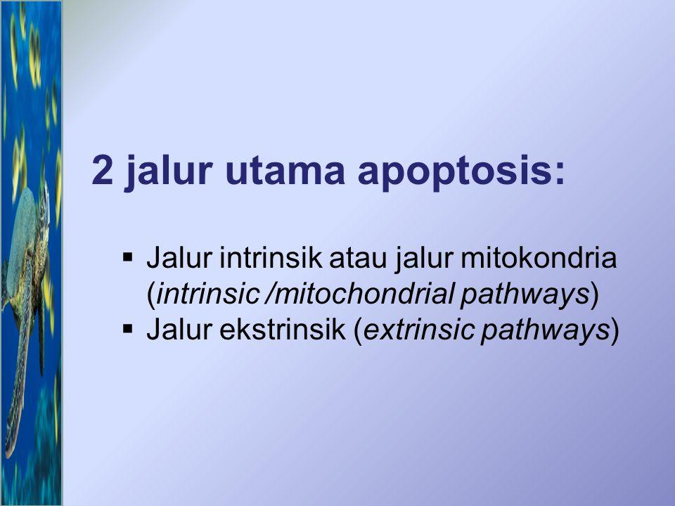 2 jalur utama apoptosis:  Jalur intrinsik atau jalur mitokondria (intrinsic /mitochondrial pathways)  Jalur ekstrinsik (extrinsic pathways)