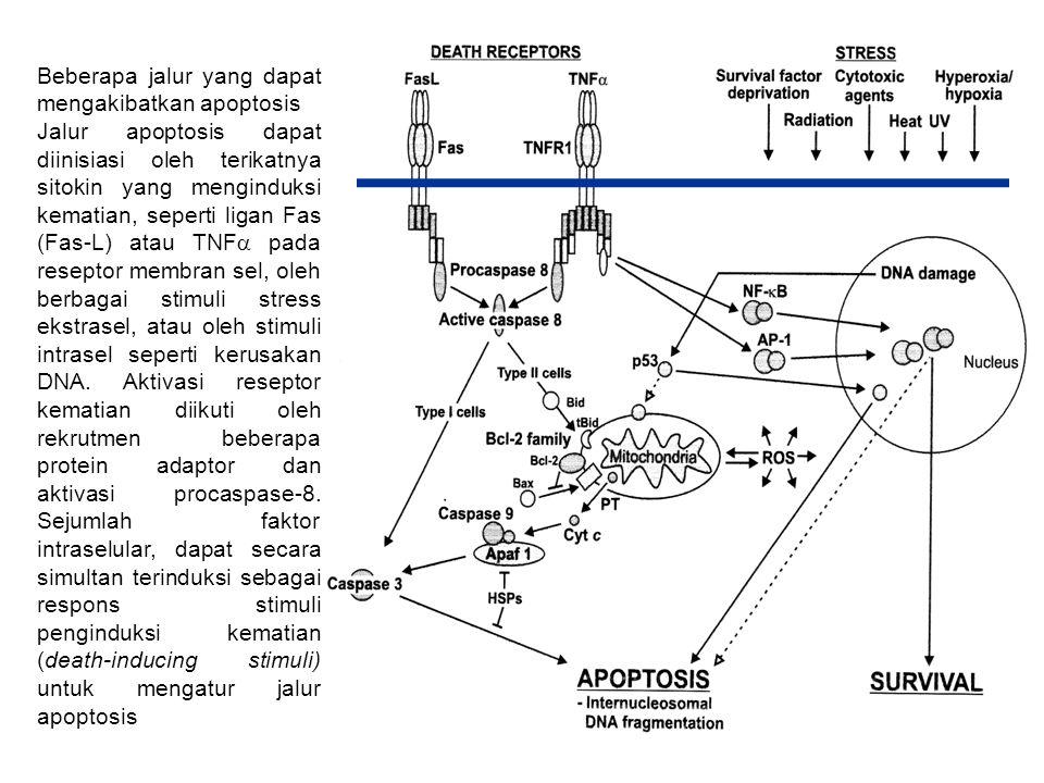 Beberapa jalur yang dapat mengakibatkan apoptosis Jalur apoptosis dapat diinisiasi oleh terikatnya sitokin yang menginduksi kematian, seperti ligan Fa