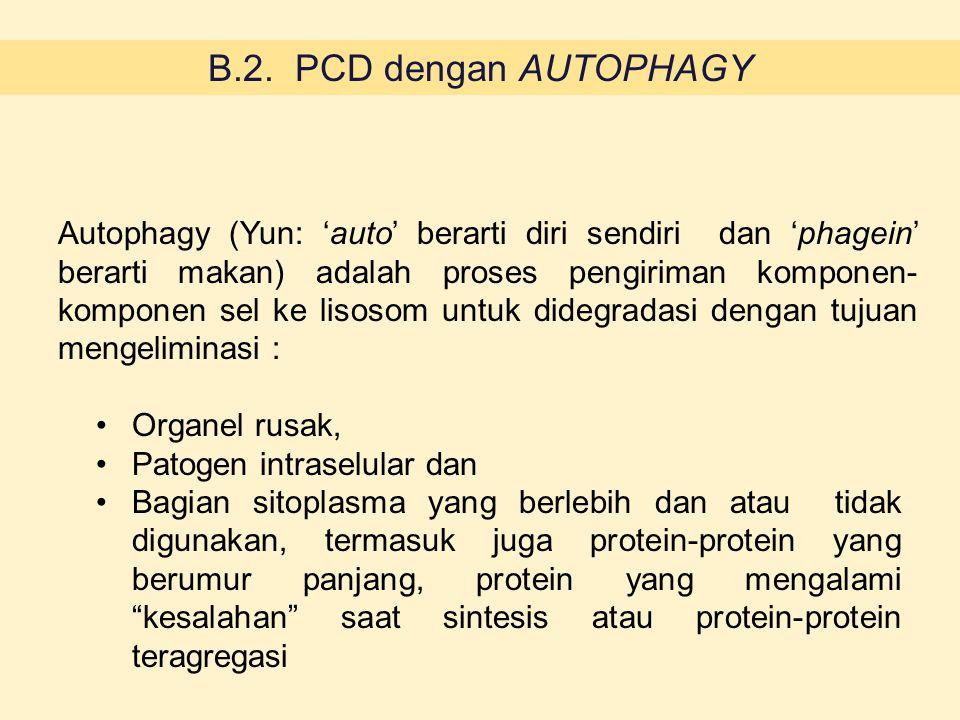 B.2. PCD dengan AUTOPHAGY Autophagy (Yun: 'auto' berarti diri sendiri dan 'phagein' berarti makan) adalah proses pengiriman komponen- komponen sel ke