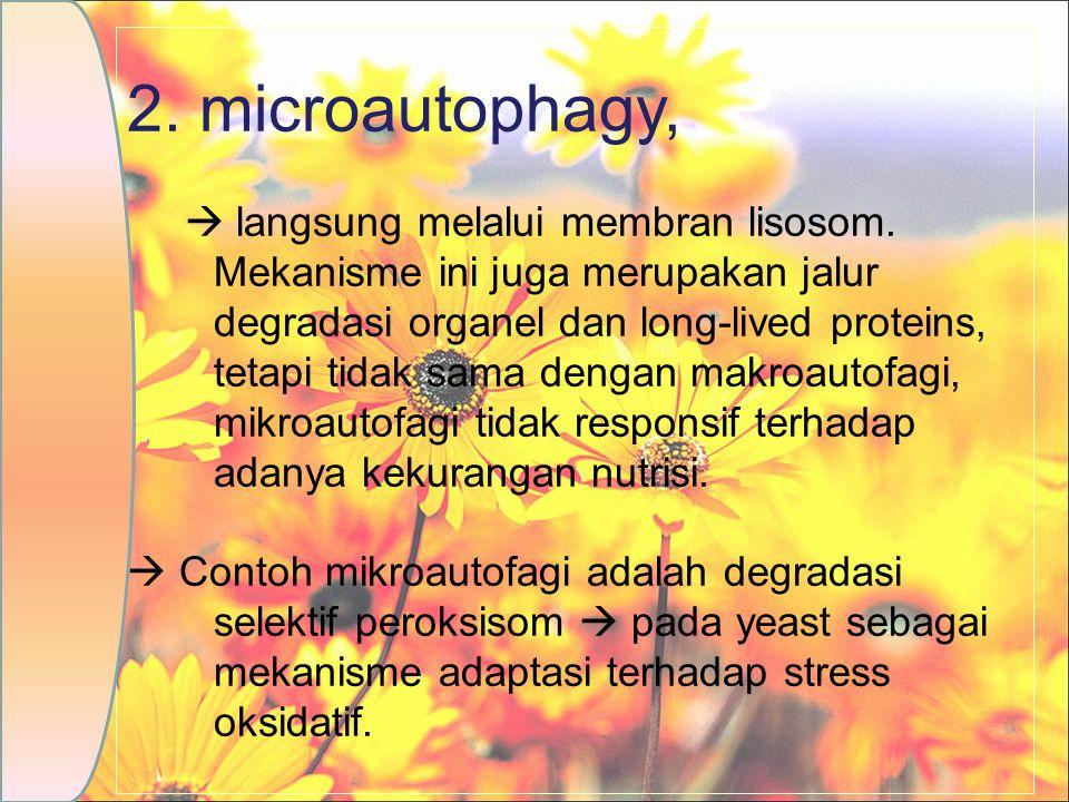2. microautophagy,  langsung melalui membran lisosom. Mekanisme ini juga merupakan jalur degradasi organel dan long-lived proteins, tetapi tidak sama