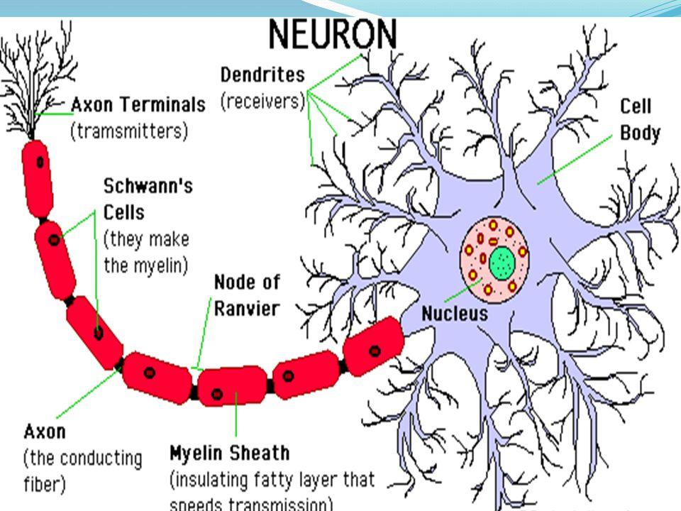 - Otak manusia canggih - Masing-masing bagian mempunyai fungsi khusus - Bekerja secara terpadu - 'Maha' komputer