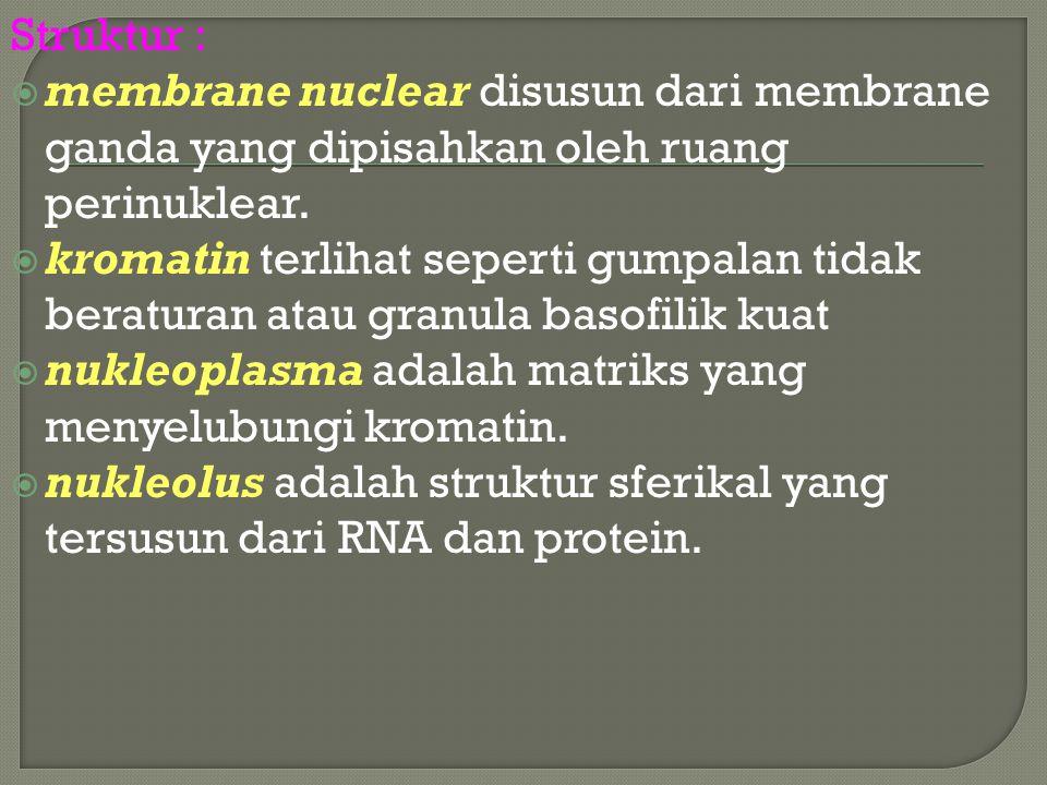 Struktur :  membrane nuclear disusun dari membrane ganda yang dipisahkan oleh ruang perinuklear.  kromatin terlihat seperti gumpalan tidak beraturan