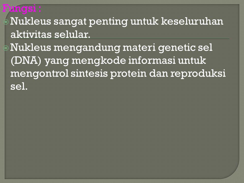 Fungsi :  Nukleus sangat penting untuk keseluruhan aktivitas selular.  Nukleus mengandung materi genetic sel (DNA) yang mengkode informasi untuk men