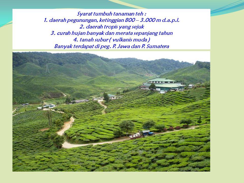 Syarat tumbuh tanaman teh : 1. daerah pegunungan, ketinggian 800 – 3.000 m d.a.p.l. 2. daerah tropis yang sejuk 3. curah hujan banyak dan merata sepan