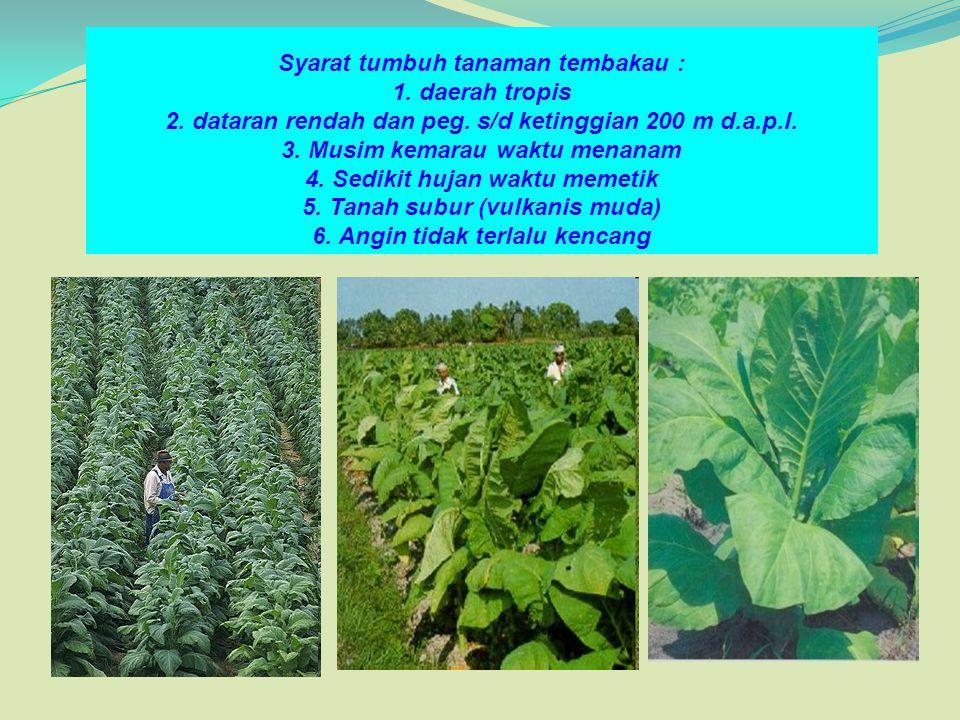 Syarat tumbuh tanaman tembakau : 1. daerah tropis 2. dataran rendah dan peg. s/d ketinggian 200 m d.a.p.l. 3. Musim kemarau waktu menanam 4. Sedikit h