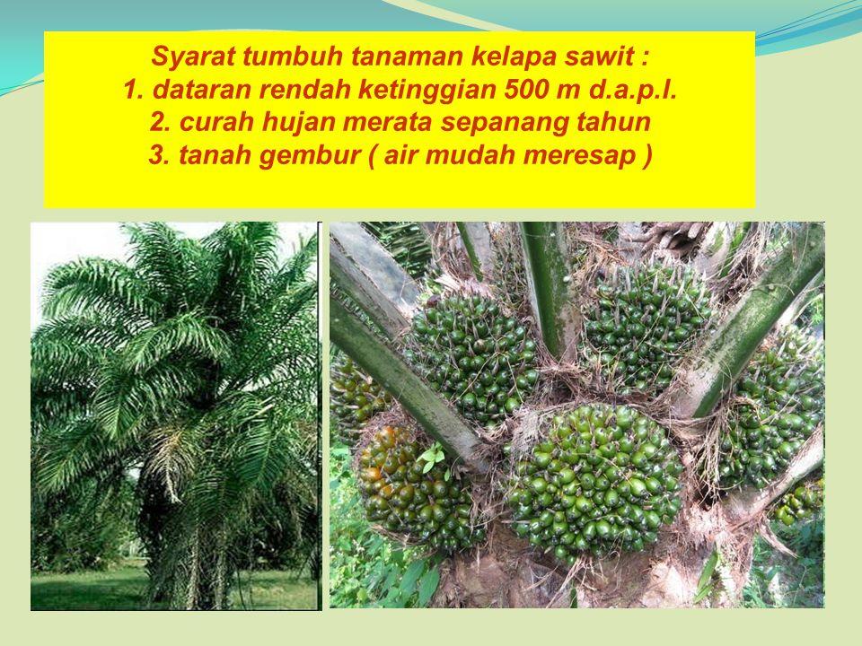 Syarat tumbuh tanaman kelapa sawit : 1. dataran rendah ketinggian 500 m d.a.p.l. 2. curah hujan merata sepanang tahun 3. tanah gembur ( air mudah mere