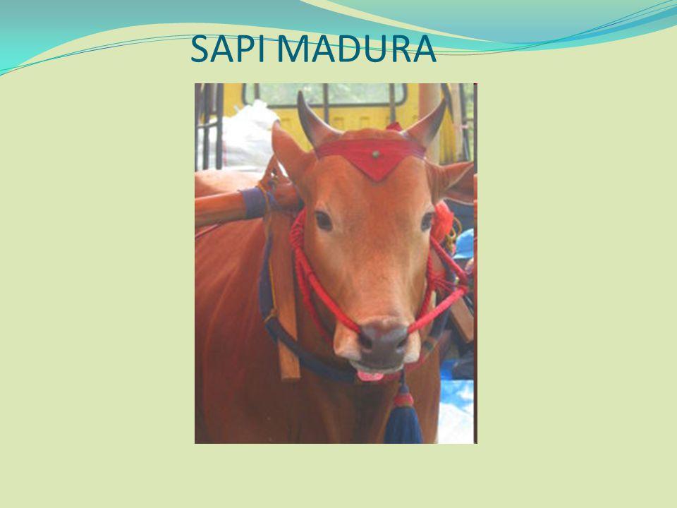 SAPI MADURA