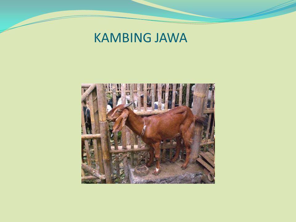 KAMBING JAWA