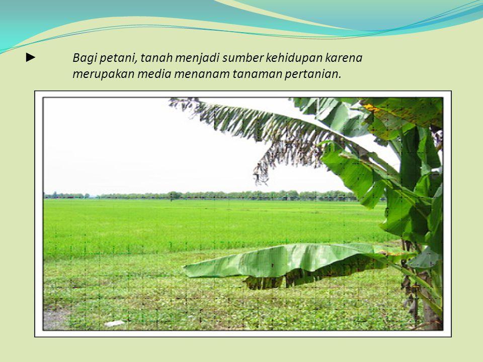 ► Bagi petani, tanah menjadi sumber kehidupan karena merupakan media menanam tanaman pertanian.