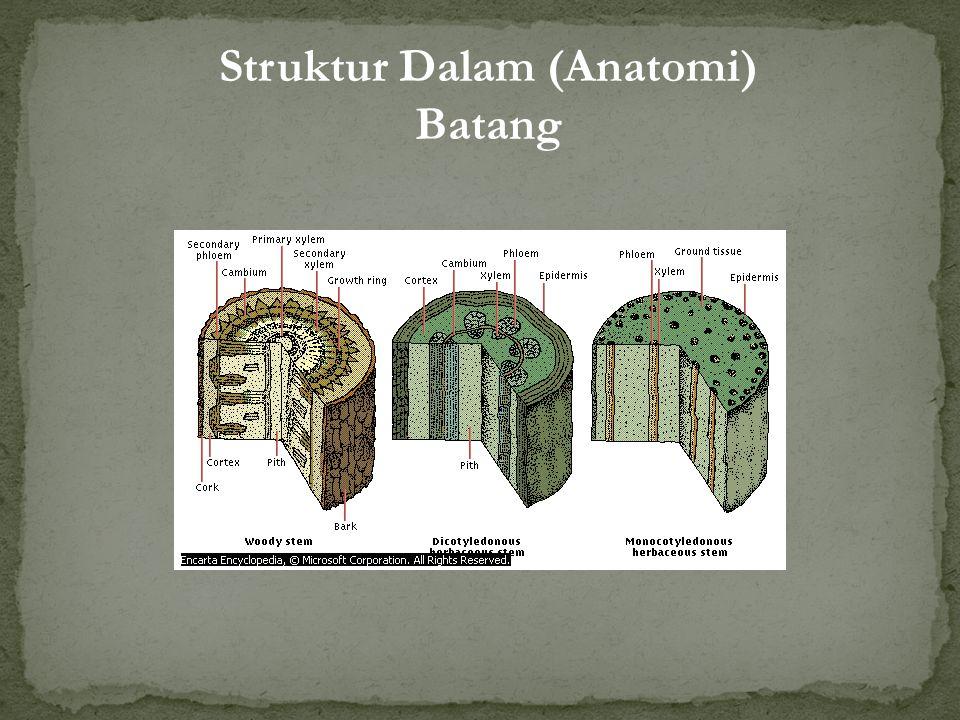 Rhizoma Umbi Batang Struktur Luar (Morfologi) Batang Berdasarkan keadaan batang: 1.Batang Tumbuhan Herba: lunak, berwarna hijau, jaringan kayu sedikit