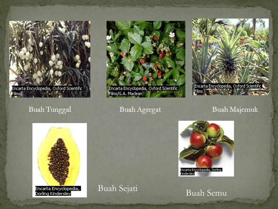 Berdasarkan kandungannya: a. Buah lunak: bakal buah dan bagian-bagian bunga akan membentuk bangunan berdaging di sekeliling biji (buah berdaging), co: