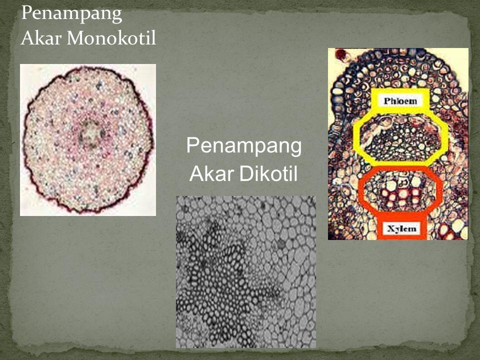 Endodermis Akar Terdiri dari selapis sel yang tebal Sel-sel endodermis memiliki pita kaspari, yaitu bagian seperti pita yang mengandung gabus (zat sub