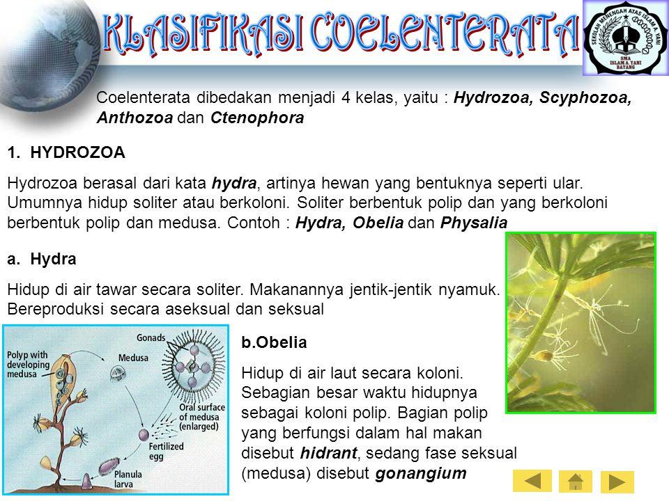 Coelenterata dibedakan menjadi 4 kelas, yaitu : Hydrozoa, Scyphozoa, Anthozoa dan Ctenophora 1. HYDROZOA Hydrozoa berasal dari kata hydra, artinya hew