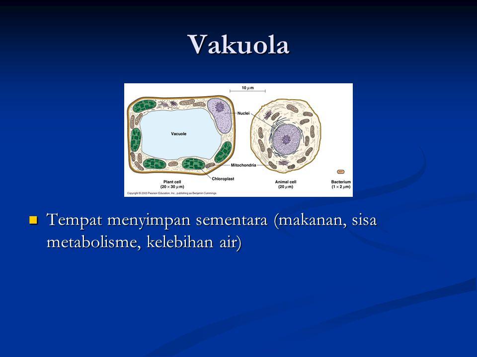 Vakuola Tempat menyimpan sementara (makanan, sisa metabolisme, kelebihan air) Tempat menyimpan sementara (makanan, sisa metabolisme, kelebihan air)