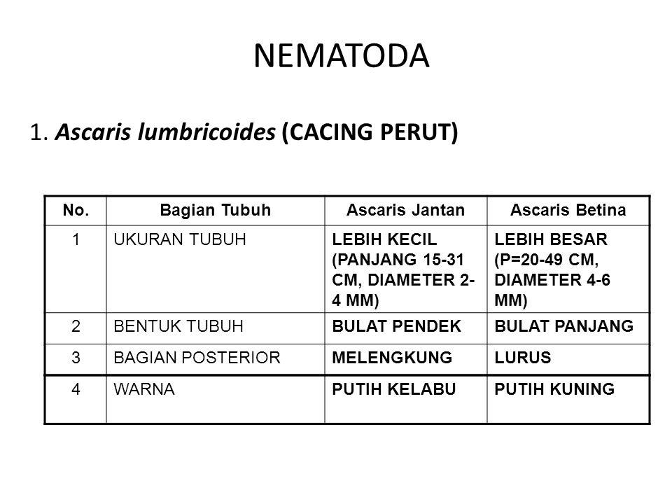 NEMATODA 1. Ascaris lumbricoides (CACING PERUT) No.Bagian TubuhAscaris JantanAscaris Betina 1UKURAN TUBUHLEBIH KECIL (PANJANG 15-31 CM, DIAMETER 2- 4
