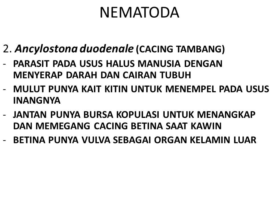 NEMATODA 2. Ancylostona duodenale (CACING TAMBANG) -PARASIT PADA USUS HALUS MANUSIA DENGAN MENYERAP DARAH DAN CAIRAN TUBUH -MULUT PUNYA KAIT KITIN UNT