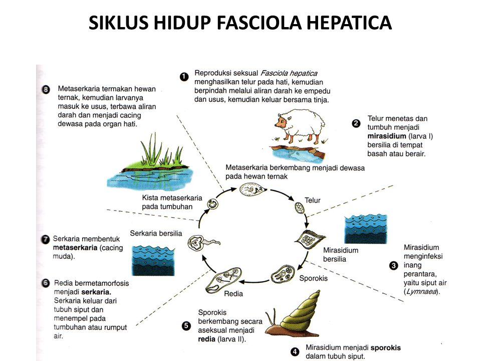 SIKLUS HIDUP FASCIOLA HEPATICA