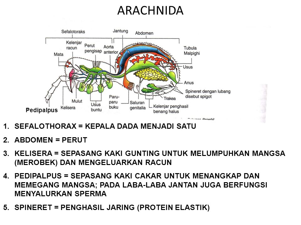 ARACHNIDA Pedipalpus 1.SEFALOTHORAX = KEPALA DADA MENJADI SATU 2.ABDOMEN = PERUT 3.KELISERA = SEPASANG KAKI GUNTING UNTUK MELUMPUHKAN MANGSA (MEROBEK)