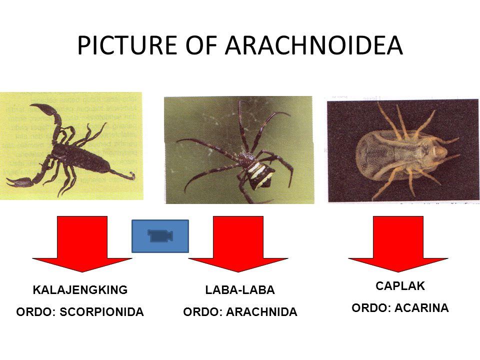 PICTURE OF ARACHNOIDEA CAPLAK ORDO: ACARINA LABA-LABA ORDO: ARACHNIDA KALAJENGKING ORDO: SCORPIONIDA