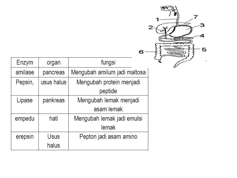 Enzymorganfungsi amilasepancreasMengubah amilum jadi maltosa Pepsin,usus halus Mengubah protein menjadi peptide Lipasepankreas Mengubah lemak menjadi