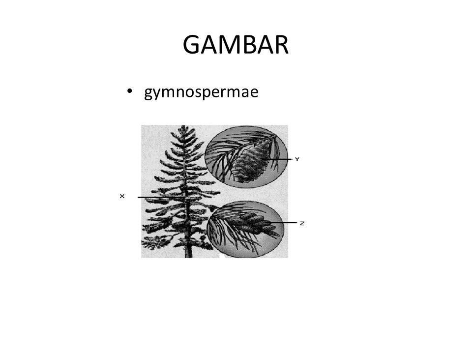 GAMBAR gymnospermae