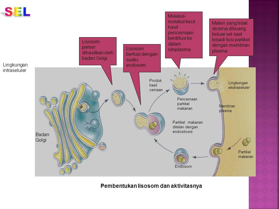 Pembentukan lisosom dan aktivitasnya Lisosom primer dihasilkan oleh badan Golgi Lisosom berfusi dengan suatu endosom Molekul- molekul kecil hasil penc