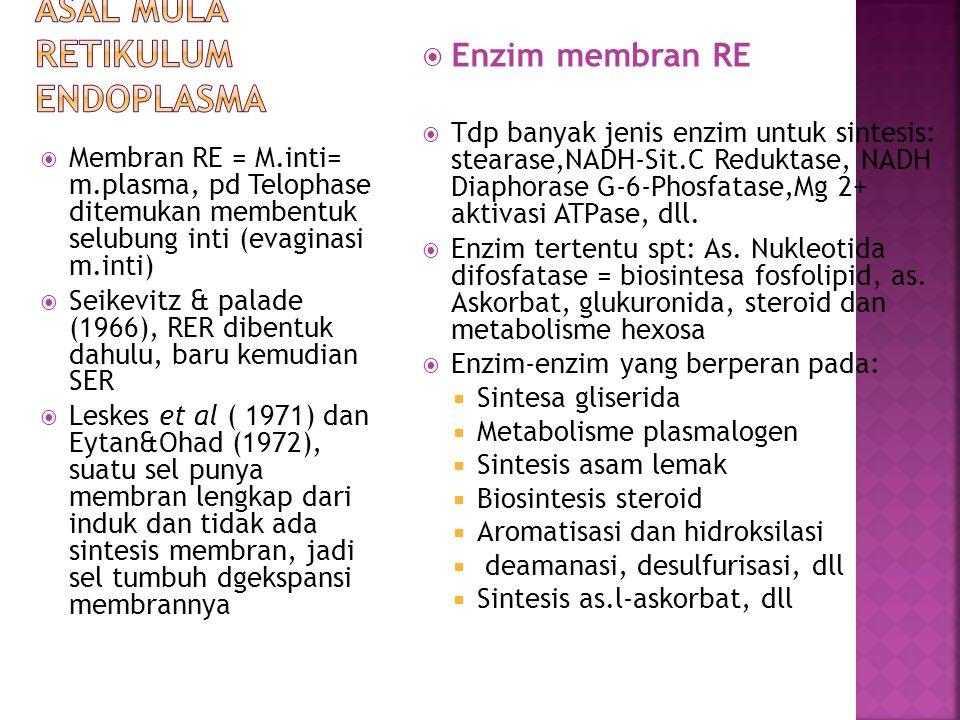  Membran RE = M.inti= m.plasma, pd Telophase ditemukan membentuk selubung inti (evaginasi m.inti)  Seikevitz & palade (1966), RER dibentuk dahulu, b