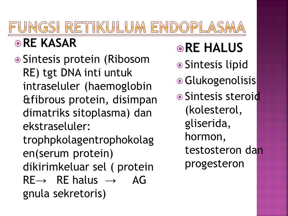  RE KASAR  Sintesis protein (Ribosom RE) tgt DNA inti untuk intraseluler (haemoglobin &fibrous protein, disimpan dimatriks sitoplasma) dan ekstrasel