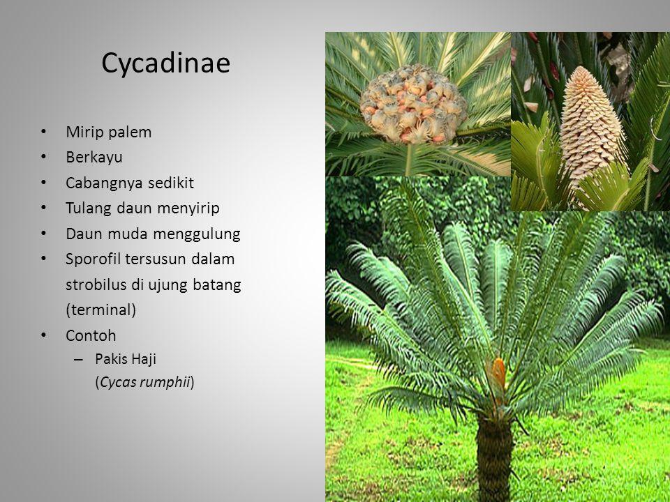 Cycadinae Mirip palem Berkayu Cabangnya sedikit Tulang daun menyirip Daun muda menggulung Sporofil tersusun dalam strobilus di ujung batang (terminal)