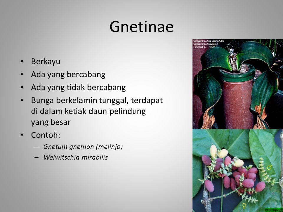 Gnetinae Berkayu Ada yang bercabang Ada yang tidak bercabang Bunga berkelamin tunggal, terdapat di dalam ketiak daun pelindung yang besar Contoh: – Gn