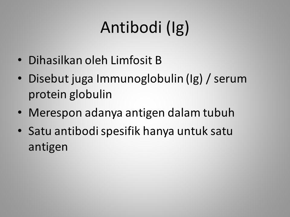 Antibodi (Ig) Dihasilkan oleh Limfosit B Disebut juga Immunoglobulin (Ig) / serum protein globulin Merespon adanya antigen dalam tubuh Satu antibodi s