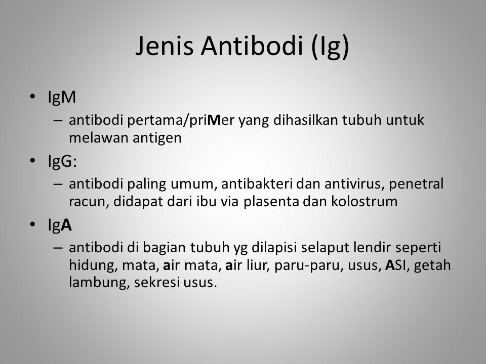 Jenis Antibodi (Ig) IgM – antibodi pertama/priMer yang dihasilkan tubuh untuk melawan antigen IgG: – antibodi paling umum, antibakteri dan antivirus,