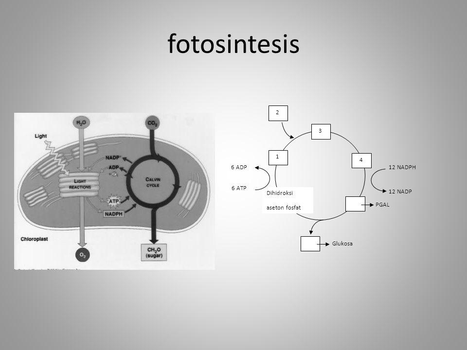 fotosintesis 3 4 PGAL Glukosa Dihidroksi aseton fosfat 1 2 12 NADPH 12 NADP 6 ADP 6 ATP