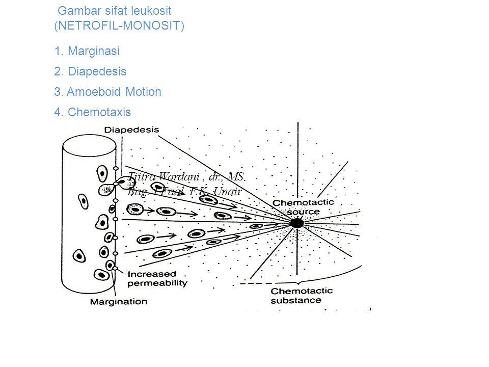 Gambar sifat leukosit (NETROFIL-MONOSIT) 1. Marginasi 2. Diapedesis 3. Amoeboid Motion 4. Chemotaxis Tjitra Wardani, dr., MS Bag. I Faal F.K. Unair