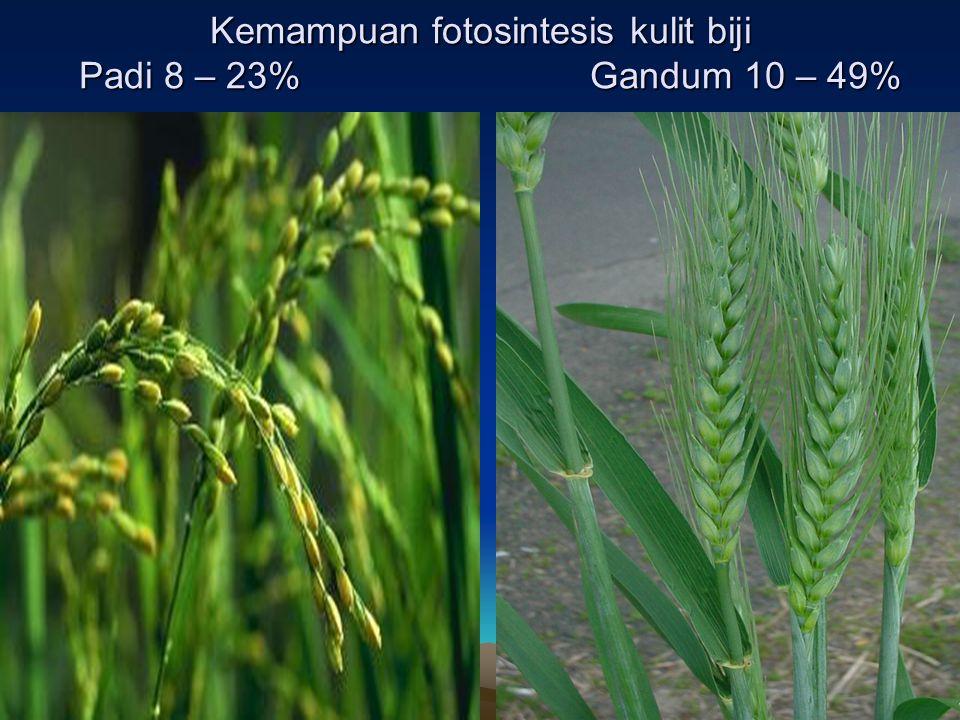 Kemampuan fotosintesis kulit biji Padi 8 – 23% Gandum 10 – 49%