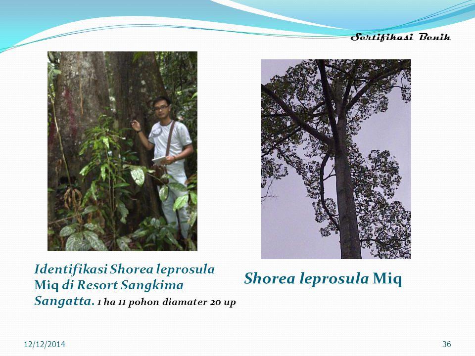 Sertifikasi Benih Identifikasi Shorea leprosula Miq di Resort Sangkima Sangatta. 1 ha 11 pohon diamater 20 up Shorea leprosula Miq 12/12/201436