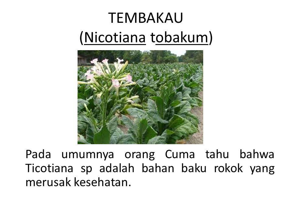 TEMBAKAU (Nicotiana tobakum) Pada umumnya orang Cuma tahu bahwa Ticotiana sp adalah bahan baku rokok yang merusak kesehatan.