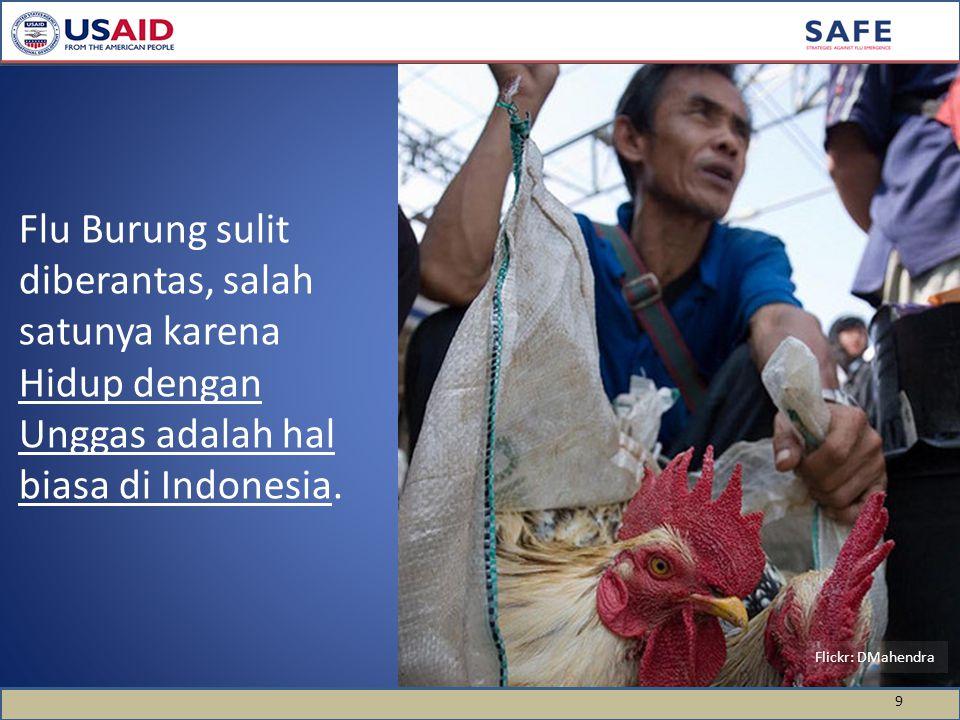 Flu Burung sulit diberantas, salah satunya karena Hidup dengan Unggas adalah hal biasa di Indonesia.